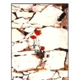 red poppy on a wall